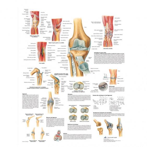 Planche anatomique - Articulation du genou