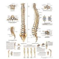 Planches anatomiques - Colonne vertébrale