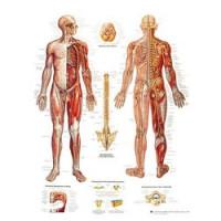 Planches anatomiques - Système nerveux