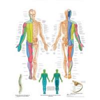Planche anatomique - Les nerfs Spinaux