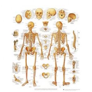 PLANCHE ANATOMIQUE squelette humain