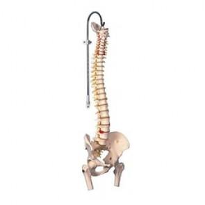 Colonne vertébrale flexible avec des moignons