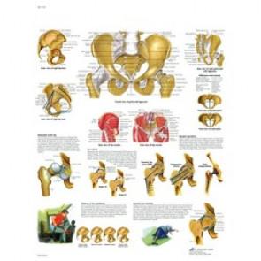 Planche anatomique - Hanche et bassin